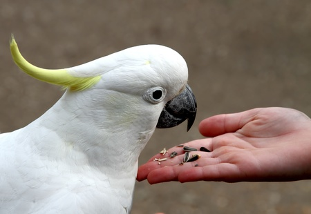 cockatoo: Sulphur-crested cockatoo feeding on seeds from hand