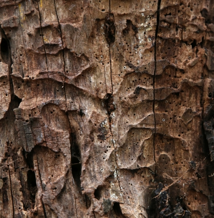 dead wood: Close up of decaying tree trunk texture