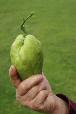 Hand holding a sprouting vegetable
