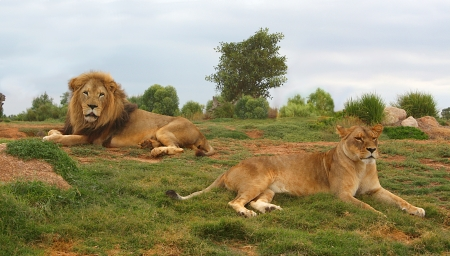 Lion and lioness lying down and resting photo