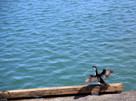 pied: Little pied cormorant bird drying its wings on the seashore