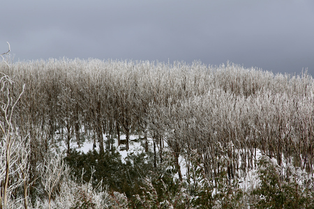 dull: Snow-covered forest on a dull winter dayd