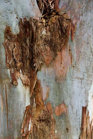 Texture of eucalyptus tree trunk