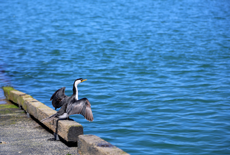 water wings: Little pied cormorant with wings spread, standing near water