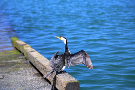 Little pied cormorant bird with outspread wings, looking back at camera