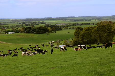 Herd of cows grazing and resting on a green pasture in hilly rural area Stock Photo
