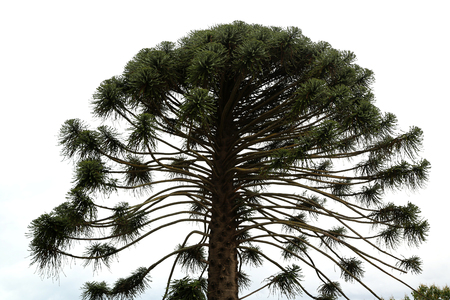 A tall Araucaria pine on light background Stock Photo