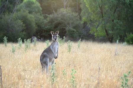 Alert female eastern grey kangaroo