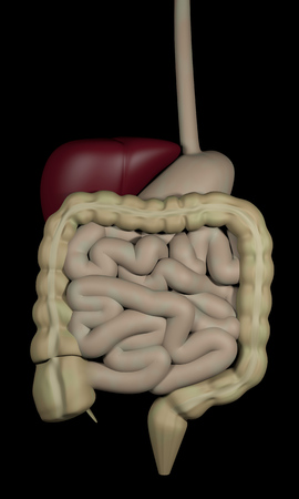 bowels: 3d rendering of the human digestive system, isolated over black