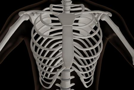 3d rendering of the chest part of the skeleton, the thoracic cavity