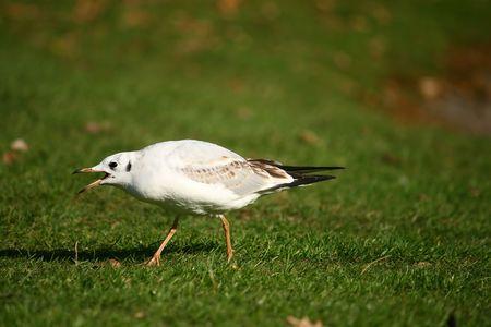 sea-gull on the grass photo