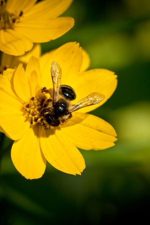 yellow bee sitting on the flower, beauty of nature Stock Photo