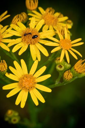 yellow flower with water drops and bugs, nature
