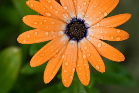 orange flower with water drops, beauty of nature
