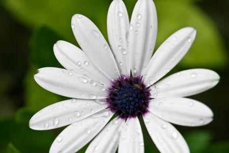 white beautiful flower with water drops, nature, beauty