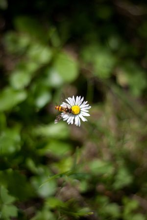 daisies in the grass, summer, beautiful flowers, wasp Stock Photo