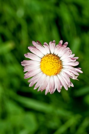 daisy, beautiful extreme closeup, macro photograph, beauty of nature