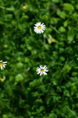 daisies in the grass, summer, beautiful flowers