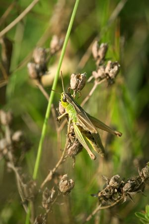 grasshopper on the grass, extreme closeup and details, macro Stock Photo