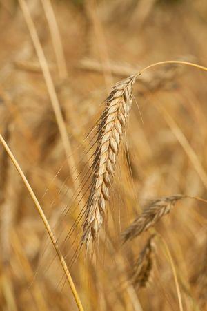 wheat field, golden crops, nature, harvest, colour