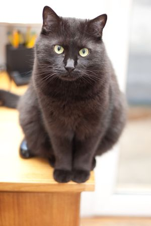 beautiful black cat sitting on the table