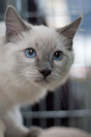 beautiful cat, white fur and blue eyes