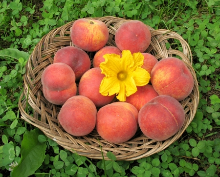 Basket of peaches with pumpkin flower Stock Photo