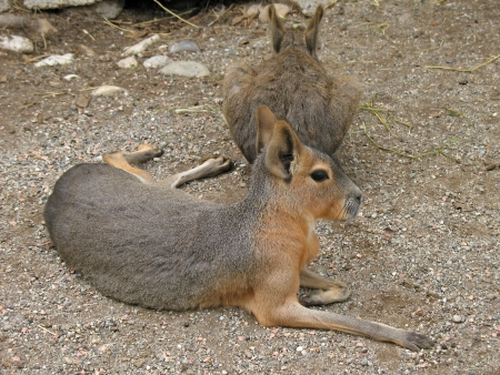 Mar� or hare patagonian lying on the ground