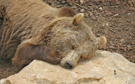 Brown bear that reposes with is head resting on the rocks Stock Photo