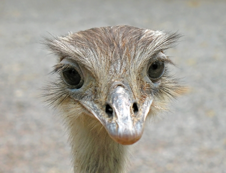 Close up of an ostrich that looks the lens