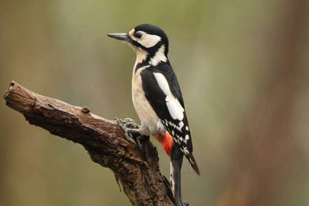 Great spotted woodpecker on a branch