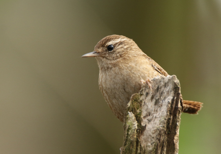 Little wren posed on a branch fo a second Imagens