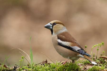 Hawfinch close up at a bird hide Stock Photo