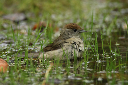 This beautiful female blackcap is taking a bath in a pond