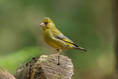 Greenfinch posing on a branch Stock Photo