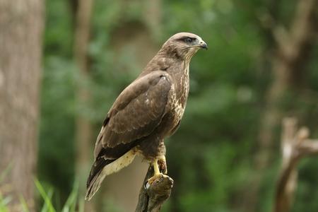 Juvenile common buzzard portrait
