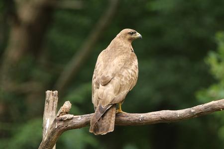 Perched buzzard at the bird hide Stock fotó
