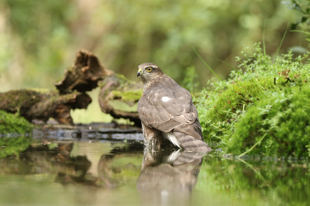 Sparrowhawk decided to come for a bath in the pond