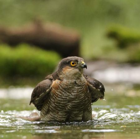 Male Sparrow Hawk bathing