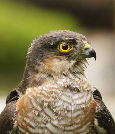 Male Sparrow Hawk portrait