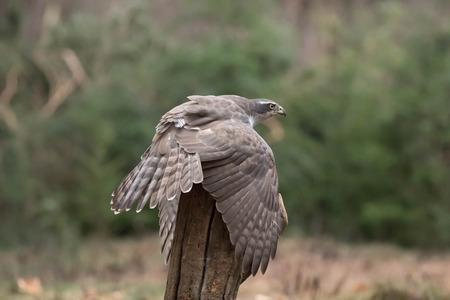 This Goshawk mantling her prey