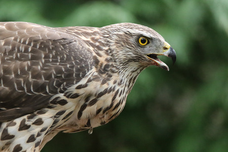 Goshawk portrait Stock Photo