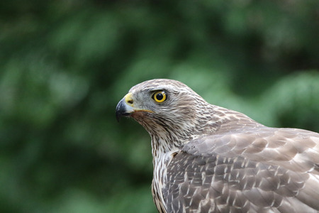 Beautiful female goshawk portrait