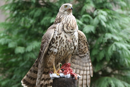 Very alert Goshawk protecting her prey Stock Photo