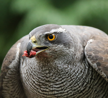 Goshawk closeup eating pigeon Stock Photo