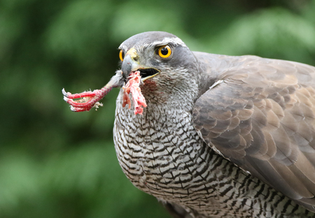 Goshawk with pigeon leg Stock Photo