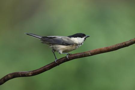 Little Marsh tit on a branch Stock Photo
