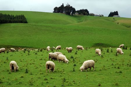 Sheep on the meadow, NZ Stock Photo - 2879010