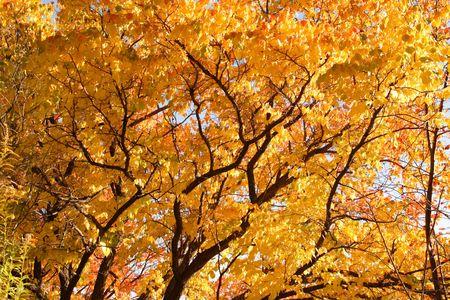 golden foliage of an autumn tree photo