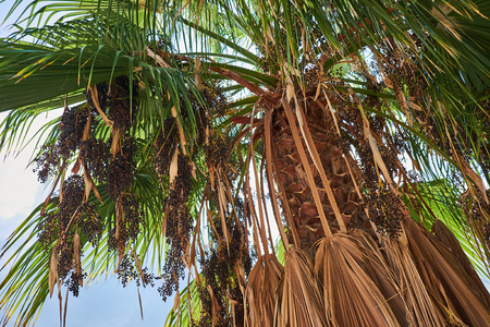 View from down to top on a palm tree with small black sun-dried fruits